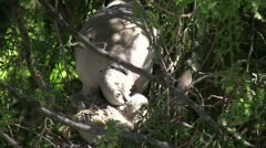 Collared Dove Young Birds Stock Footage