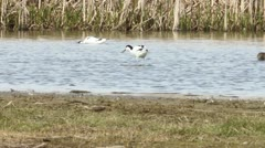 Avocet foraging in water - stock footage