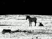 Stock Video Footage of VJ112 Zebra silhouette BW