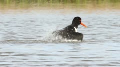 Oystercatcher cleaning itself in water - stock footage