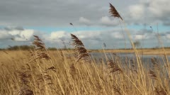 Reeds moving in the wind - stock footage