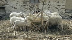 Sheep flock Stock Footage