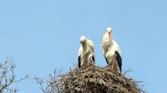 Storks cleaning themselves on their nest - stock footage