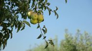 Apples on the tree Stock Footage