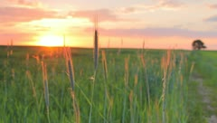 The cereal grass in the field, sunset (sunrise) Stock Footage