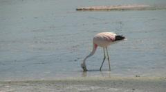Atacama flamingo feeds in the Laguna de Chaxa Stock Footage