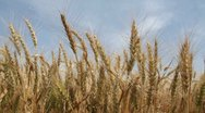 Stock Video Footage of Wheat Field against a blue sky