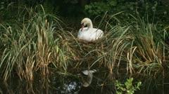 Mute swan - cygnus olor - nest breeding knobbelzwaan 01p Stock Footage