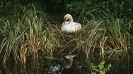 Stock Video Footage of mute swan - cygnus olor - nest breeding knobbelzwaan 01p