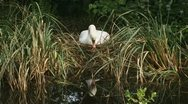 Stock Video Footage of mute swan - cygnus olor - nest breeding knobbelzwaan 02i