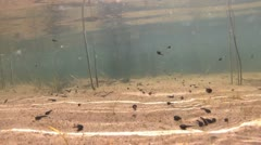 Tadpole in a lake during springtime in Sweden, underwater shoot Stock Footage