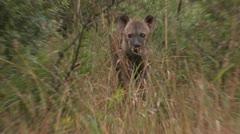Hyena1 Stock Footage