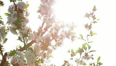 Twigs with sour cherry blossoms - stock footage