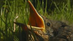 Blackbird chick, squab, calling parents Stock Footage
