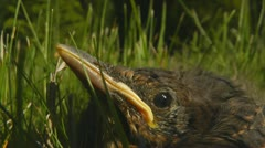 Squab Blackbird chick in grass Stock Footage
