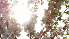 Twigs with sour cherry blossoms Stock Footage