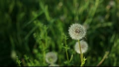 Blowballs in grass Stock Footage