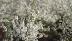 Orchard of blooming sour cherry trees - stock footage