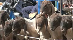 Sheep for sale at an animal market Stock Footage