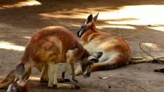 Red Kangaroos Resting On Hot Afternoon 2 Stock Footage