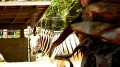Zebra Walking At Zoo Exhibit Stock Footage