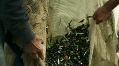 Olive harvest collecting olives - stock footage