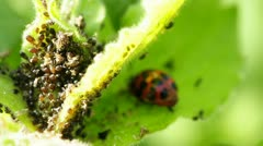 Louse and lady`s beetle Stock Footage
