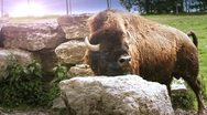 Stock Video Footage of Bison Bull side