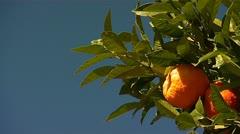 Spanish Oranges Stock Footage
