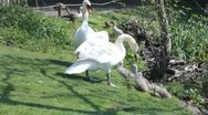 Couple of swans with little cygnets Stock Footage