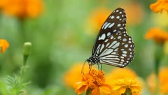 Black butterfly with flowers and with green leaves. Stock Footage