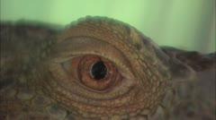 Iguana eye close up Stock Footage