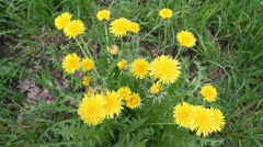 A group of dandelions - stock footage