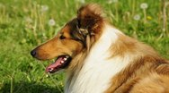 American collie dog Stock Footage