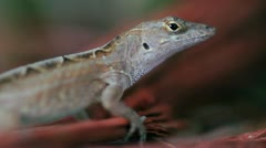 Lizard 01 - stock footage