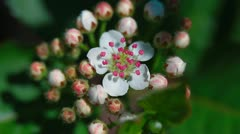 Bloom of aronia Stock Footage
