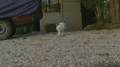 Bella, oldest cat in Rome takes a stroll (catcam) - stock footage