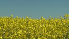 Farmland with blooming Canola, Campestris L during Spring in Sweden - stock footage
