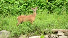 Whitetail Deer Buck - stock footage