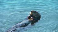 Hungry sea otter floating on its back and eating muscles Stock Footage
