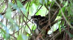 Emperor Tamarin (Saguinus imperator) and Two babies in the Amazon Stock Footage