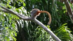 An Emperor Tamarin (Saguinus imperator) runs along a branch in the Amazon Stock Footage