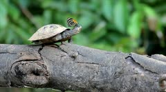 Butterfly and Yellow-spotted Amazon River Turtle on a log in the Amazon - stock footage