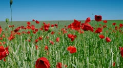 DOLLY: Red Poppies And Green Wheat Under Blue Sky - stock footage
