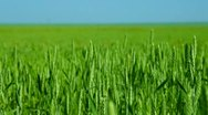 Stock Video Footage of DOLLY: Green Wheat Field And Blue Sky