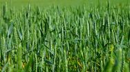 Stock Video Footage of DOLLY: Green Wheat Field