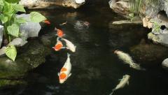 Kai carp in a pond Stock Footage