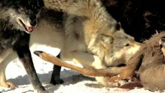 Wild Gray Wolves Feed on a Deer Carcass (wild pack photographed from a blind) Stock Footage
