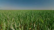 Stock Video Footage of Green Wheat Field And Blue Sky