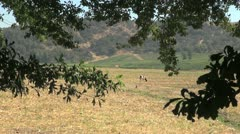 Chile Colchagua Valley cow grazing s4 Stock Footage